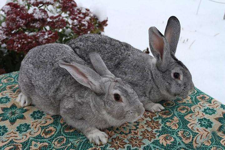 кролики породы советская шиншила