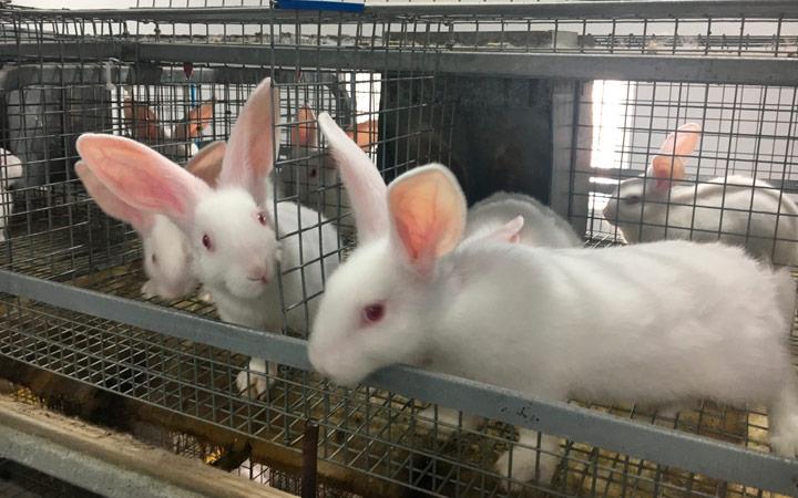 Кормление кроликов на убой