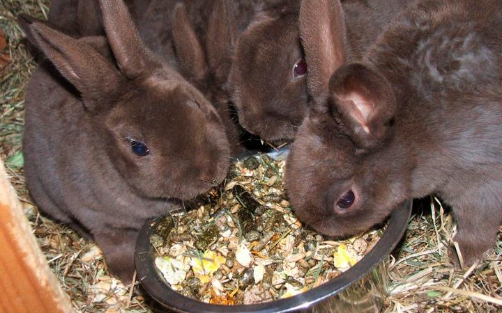 Как кормить кроликов мешанкой