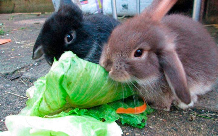 еда для кроликов против болезней