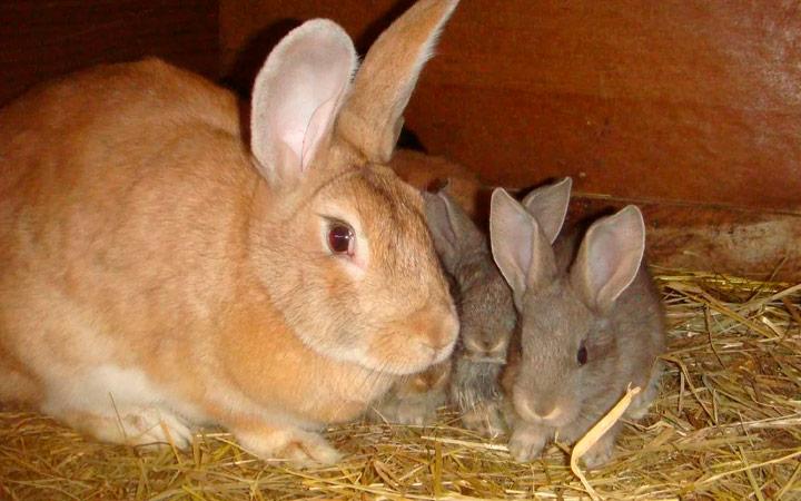правила кормления крольчих и крольчат