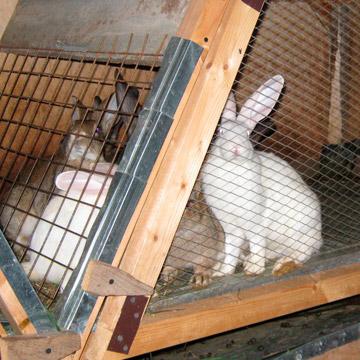 Как правильно содержать кролей в клетке?