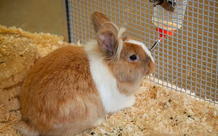 Виды кокцидиоза у кроликов