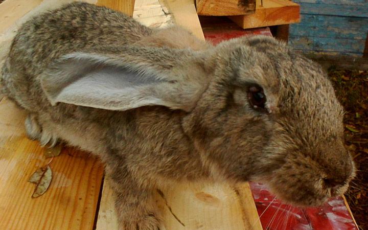 болезни у кроликов
