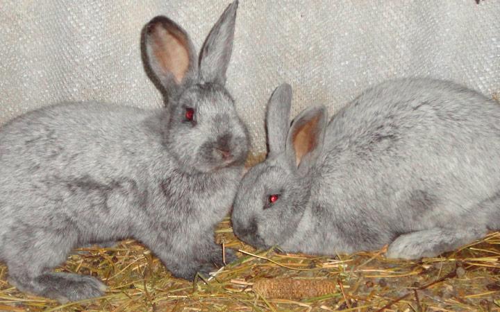 заражение глистами у кроликов