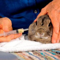 фото Чем и как правильно поить кроликов от глистов?