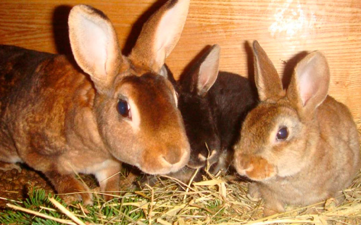 Симптомы гельминтоза у кроликов