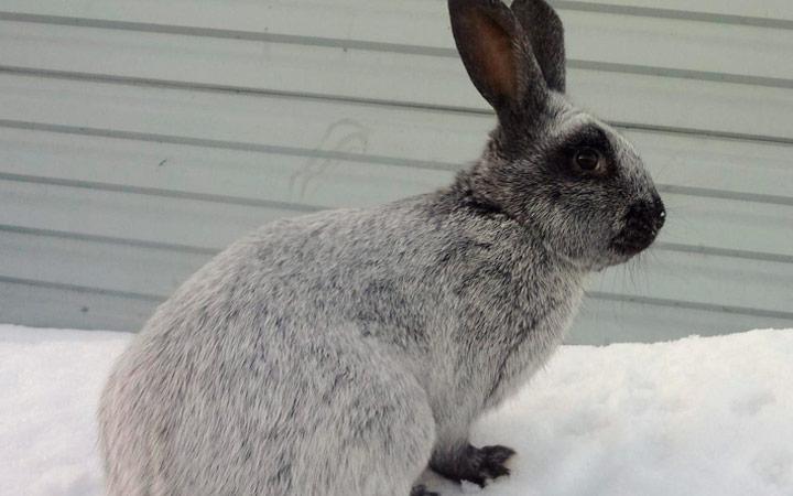 Серебристый кролик сроки беременности