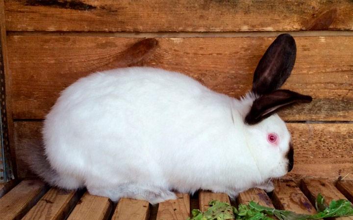 Калифорнийский кролик сроки беременности