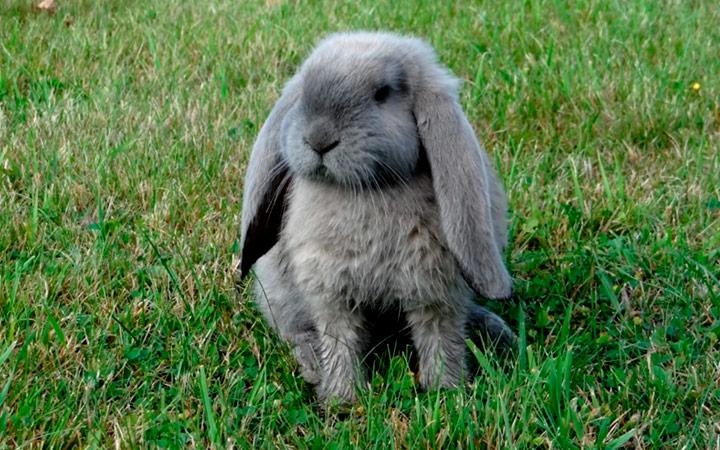Кролик баран сроки беременности