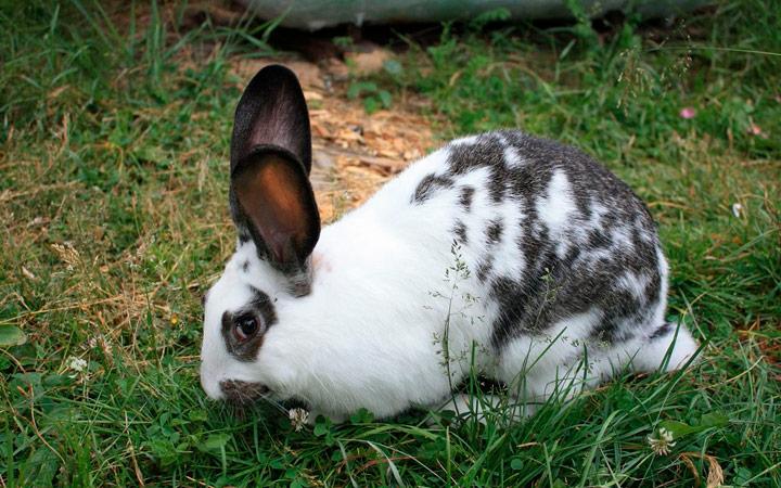 Бабочка кролик сроки беременности