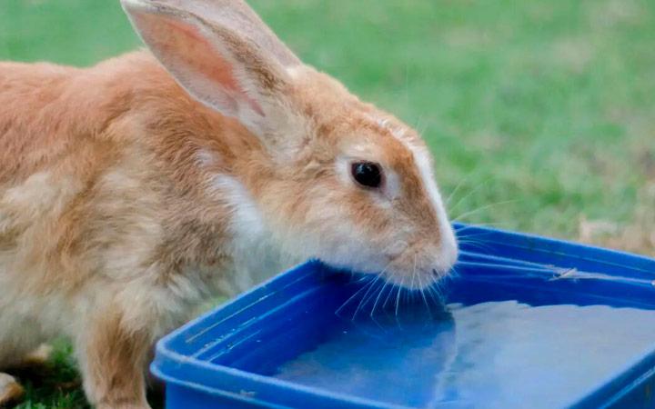 вода для беременной крольчихи