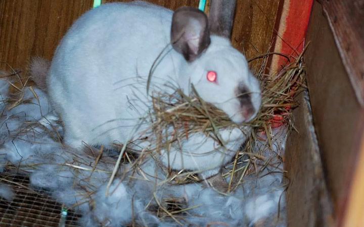 питание беременного кролика