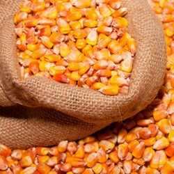 фото Как правильно давать кукурузу курам-несушкам?