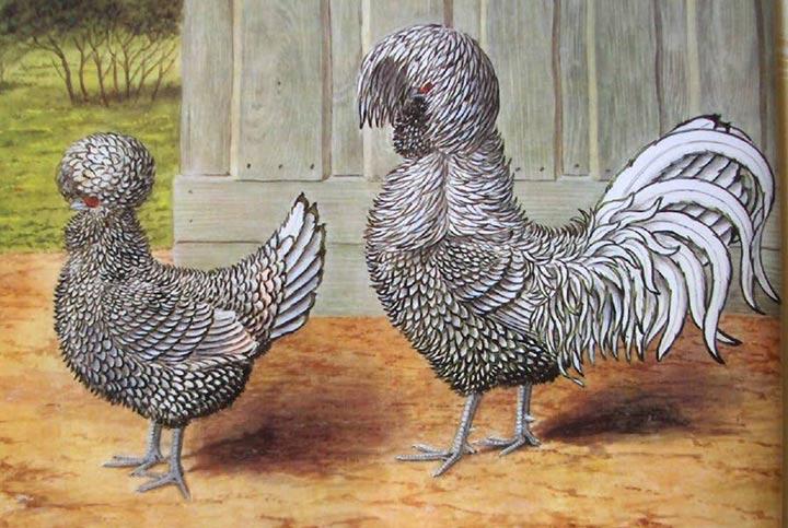 Курчавая курица рисунок