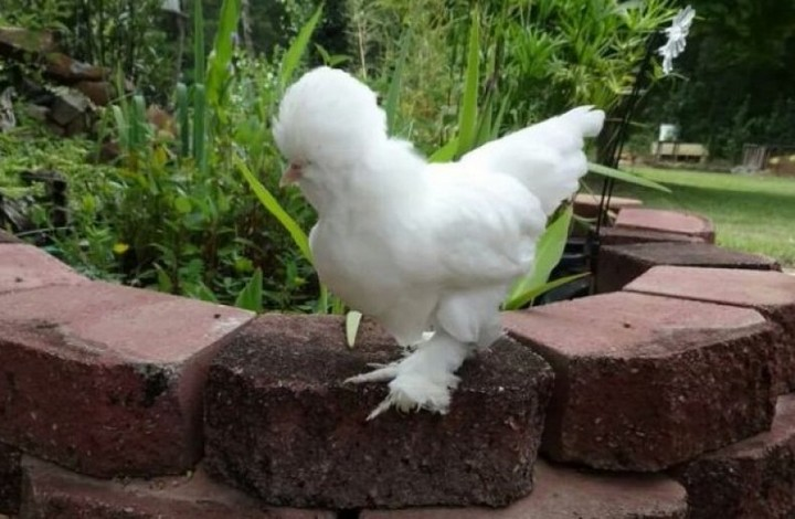Курица порода Султанка