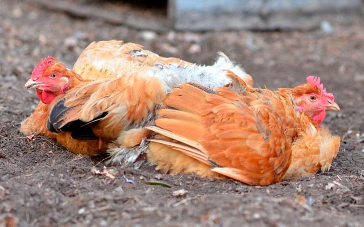 Стресс у куриц