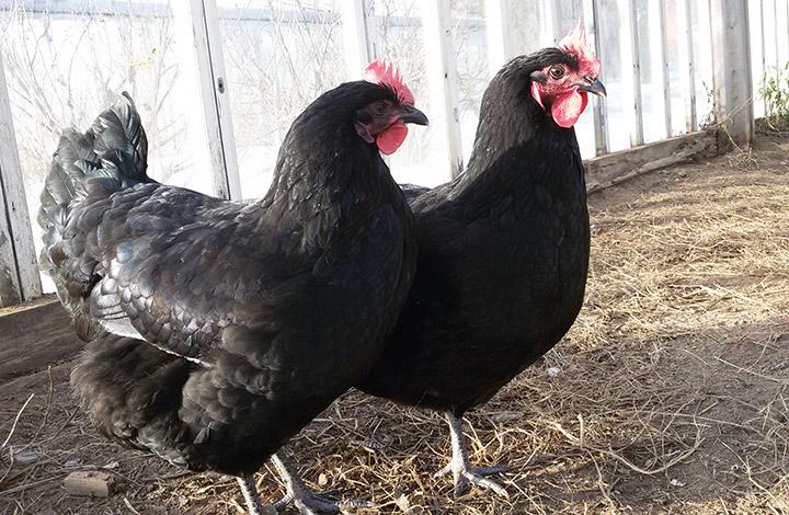 Черные куры Австралорп