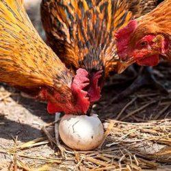 фото Почему куры начали клевать яйца и как их отучить?