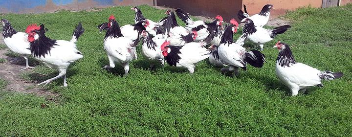 курицы на прогулке