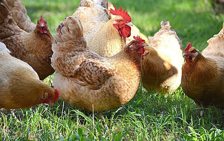курицы породы Нидерхайнер