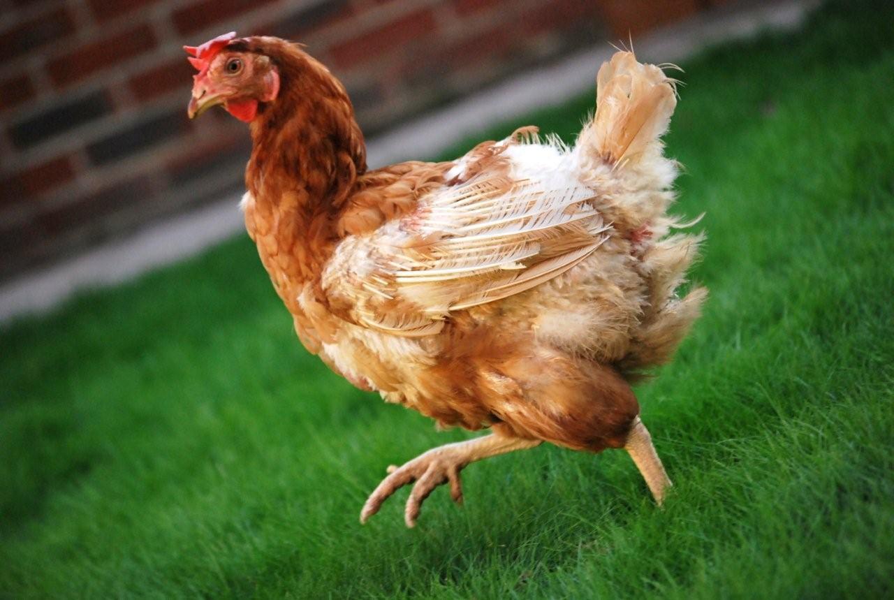 Курица линяет
