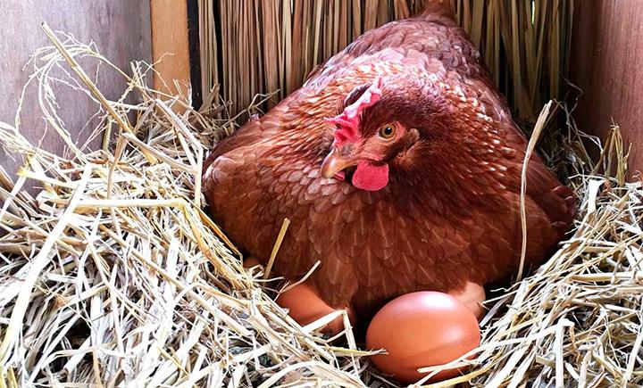 Курица породы Шейвер высиживает яйца