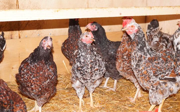 разведение ливенских куриц