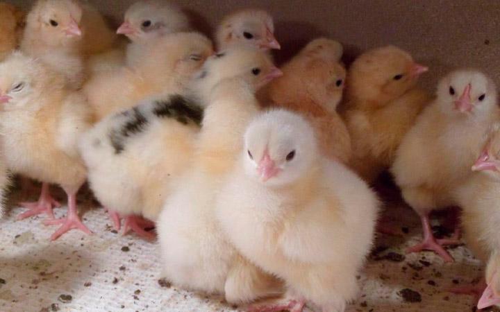мел молодняку и цыплятам