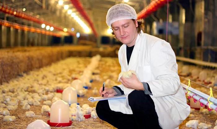 Ветврач осматривает цыплят