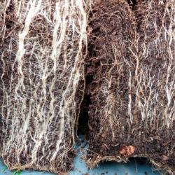 фото Что такое микориза и как ее применять в садоводстве?