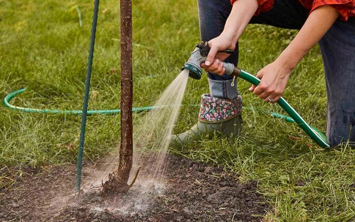 полив раствором микориза для высаженных деревьев