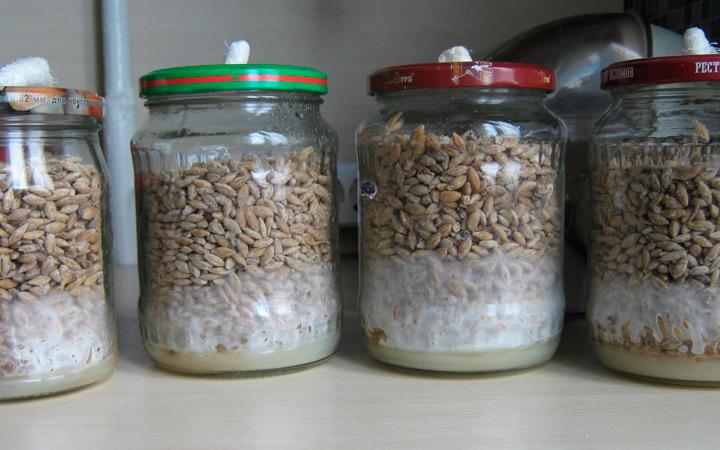Посев грибницы
