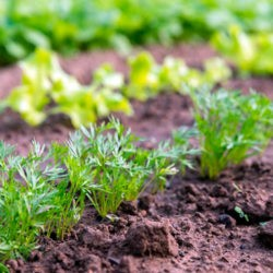 фото Как выращивать морковь рассадой