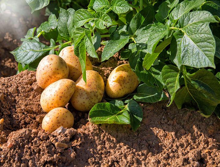 картофельная ботва
