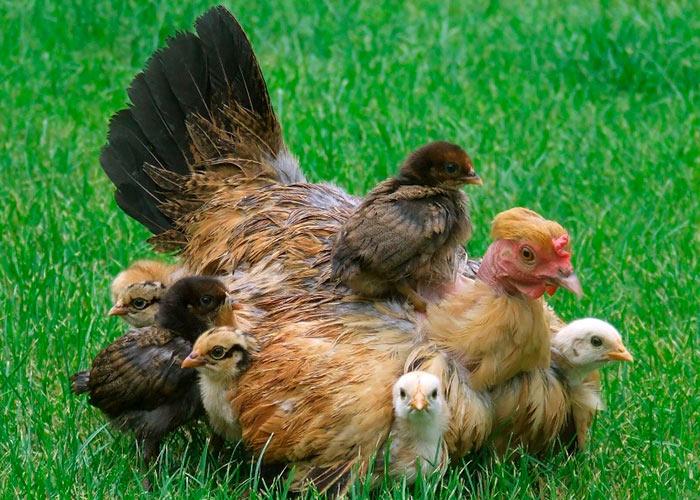 Наседка с цыплятами фото