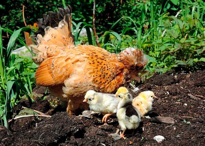 Бентамка с цыплятами фото