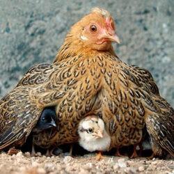 фото Когда и как нужно подсаживать цыплят к курице?