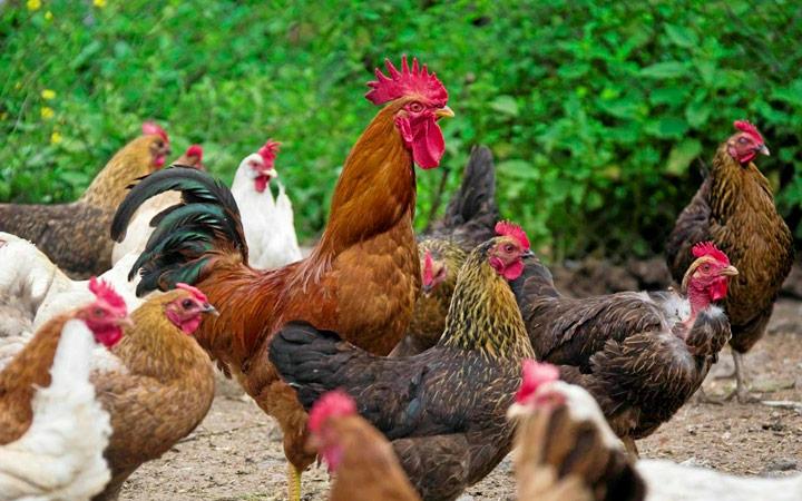 профилактические меры для кур