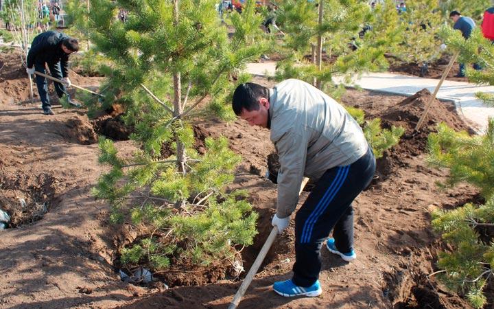 пересадка хвойных деревьев