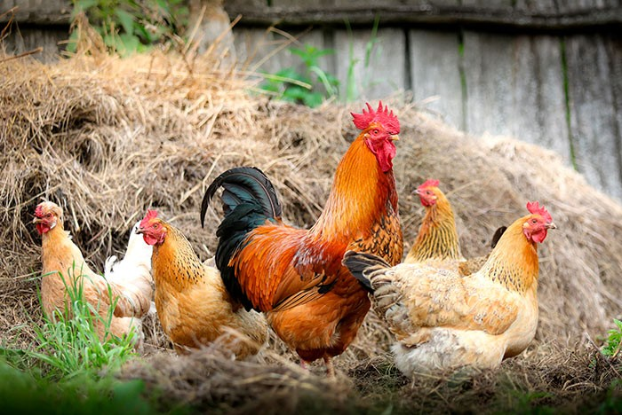 Петух с курицами фото