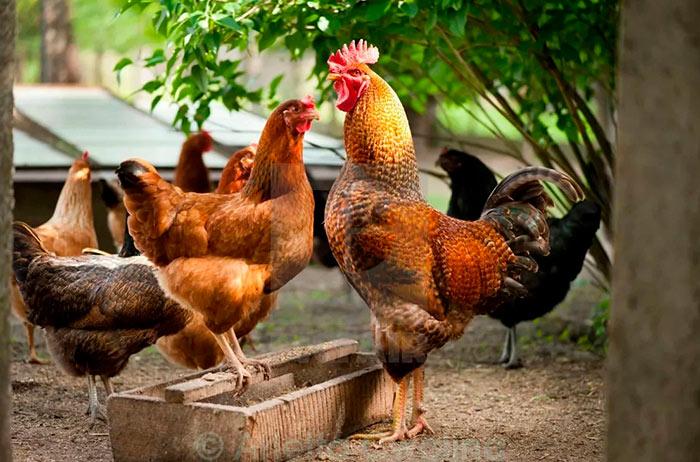 Петух заигрывает с курицей фото