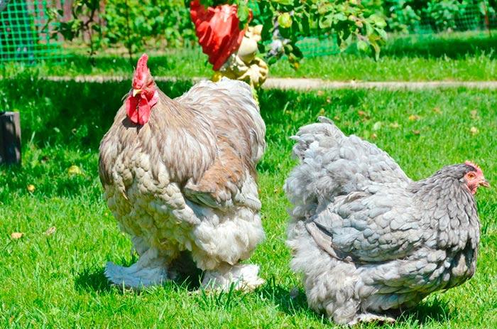 Петух и курица Кохинхин фото