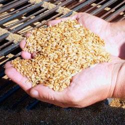 фотоОсобенности кормления бройлеров пшеницей и зерносмесями на её основе
