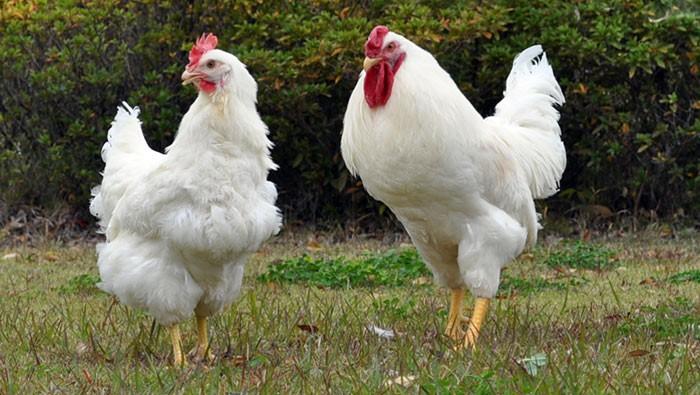 Белые куры породы Плимутрок