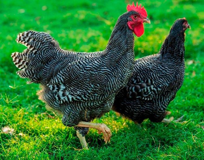 Петух и курица породы Плимутрок