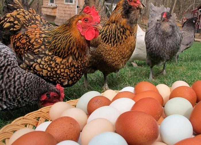 Яйца кур Плимутрок