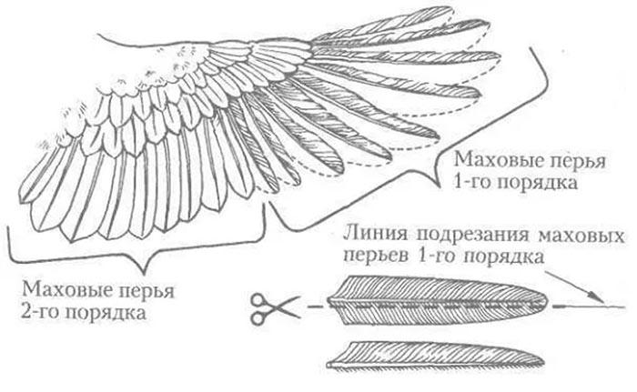Схема крыла курицы