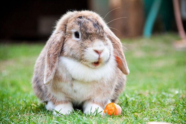 вислоухий кролик на улице