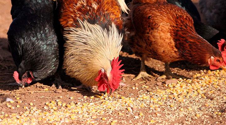 нарушение рациона питания куриц
